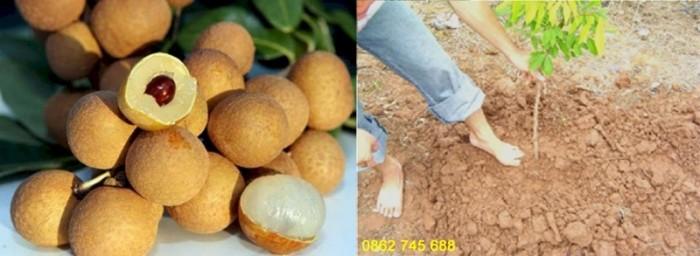 Nhãn Hương Chi cây giống F11