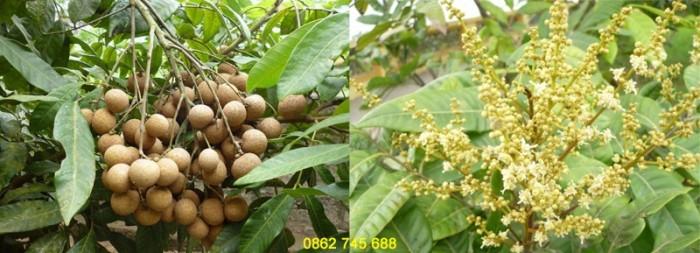 Nhãn Hương Chi cây giống F10