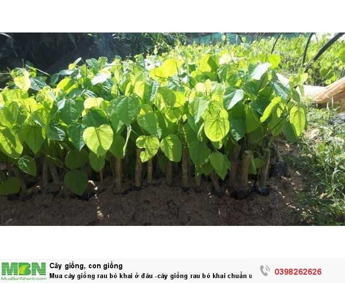 Mua cây giống rau bò khai ở đâu -cây giống rau bò khai chuẩn uy tín2