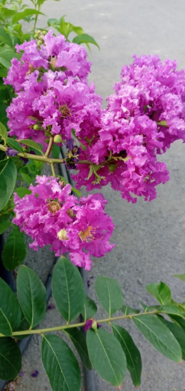 Cây bằng lăng thái màu tím bông to lâu tàn
