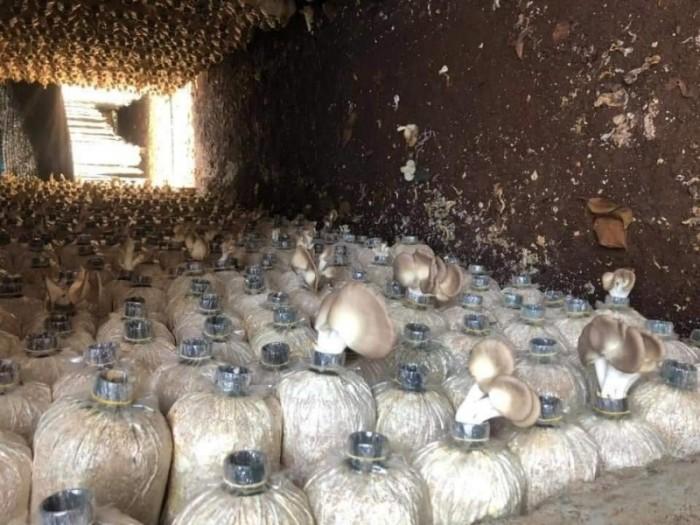 Phôi nấm bào ngư xám combo 4 bịch trồng nấm tại nhà Free Ship - SH1041