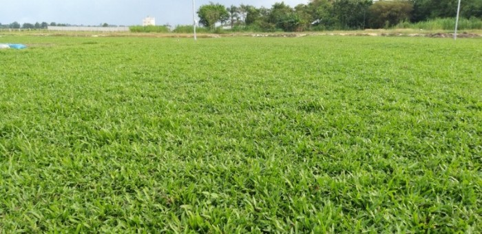 Cỏ lá tre trồng sân banh mini