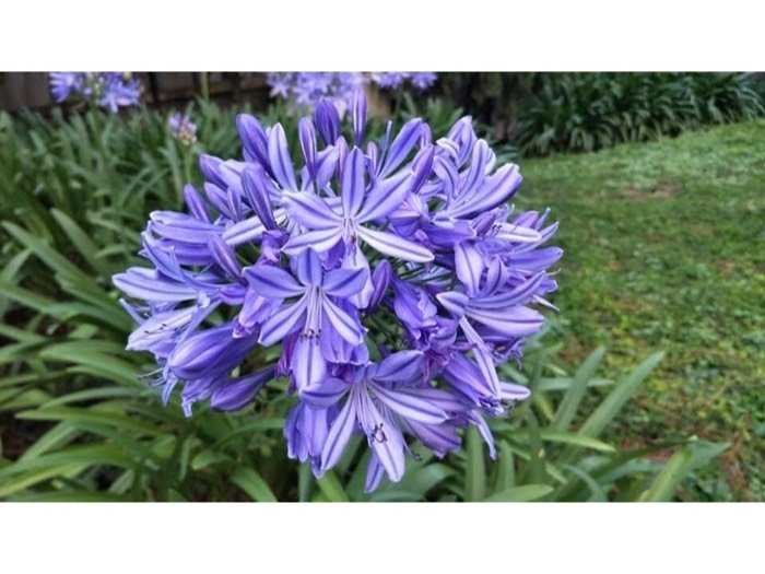 Củ hoa thanh anh -  củ hoa arapang3