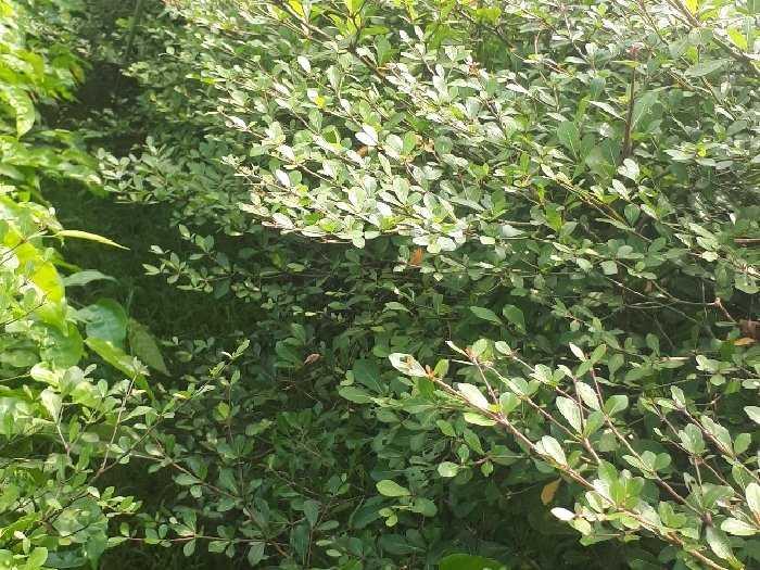 Cây giống Bàng Đài Loan0