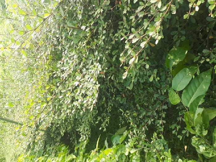 Cây giống Bàng Đài Loan1