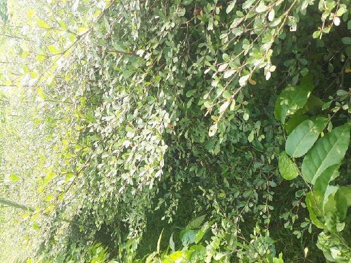 Cây giống Bàng Đài Loan2
