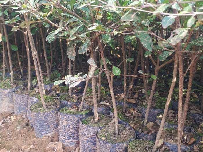 Cây giống Bàng Đài Loan3