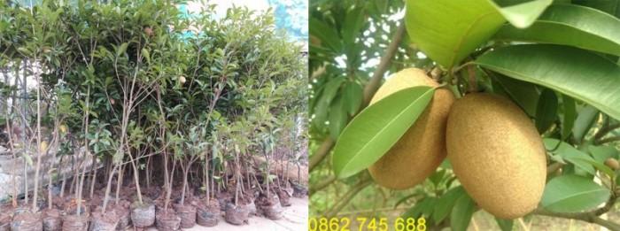 Hồng xiêm xoài cây giống chuẩn F17