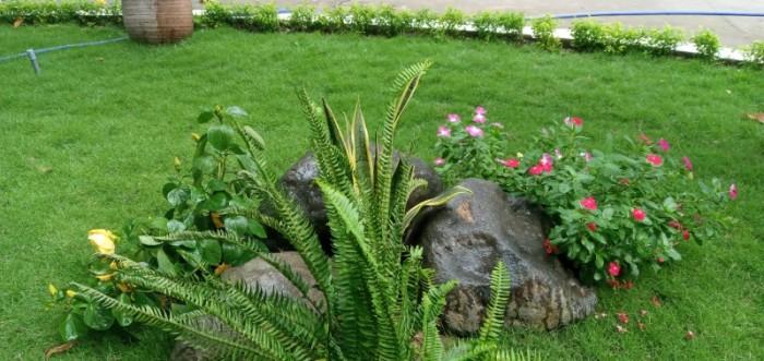 Trồng cỏ nhung Nhật sân vườn tiểu cảnh mini2