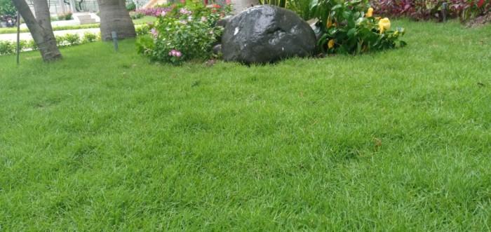 Trồng cỏ nhung Nhật sân vườn tiểu cảnh mini3