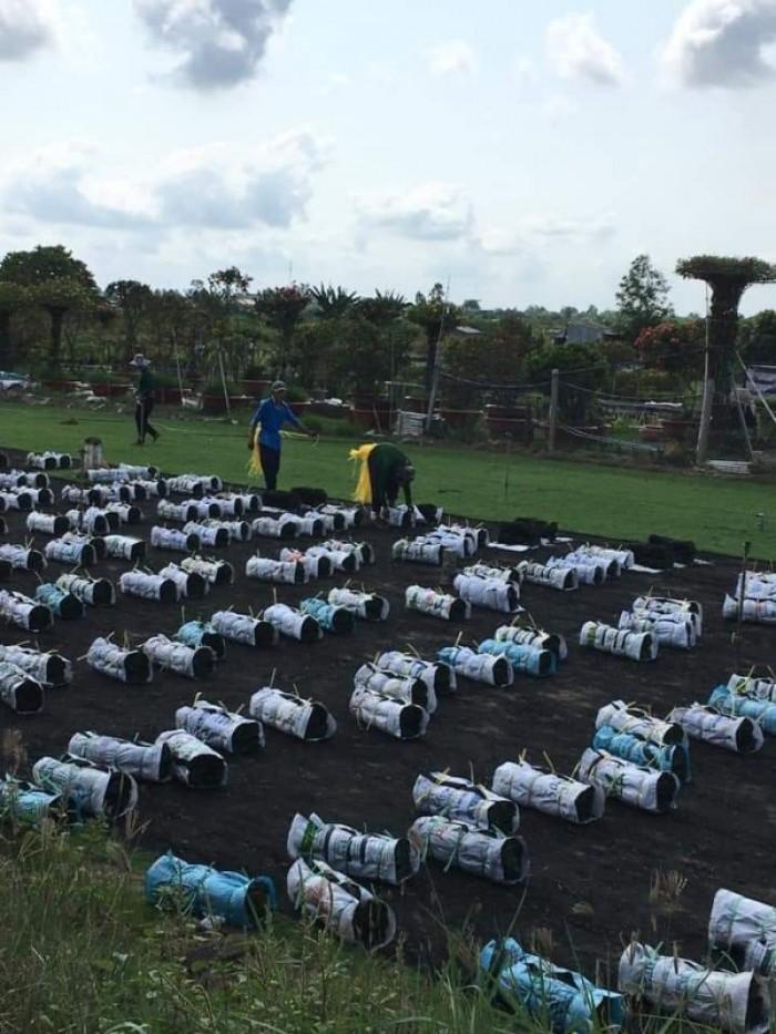 Trồng cỏ nhung Nhật sân vườn tiểu cảnh mini8