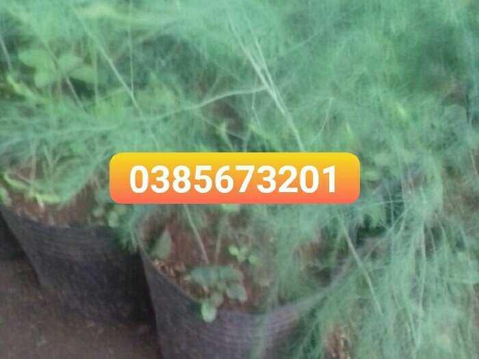 Bán cây măng tây1