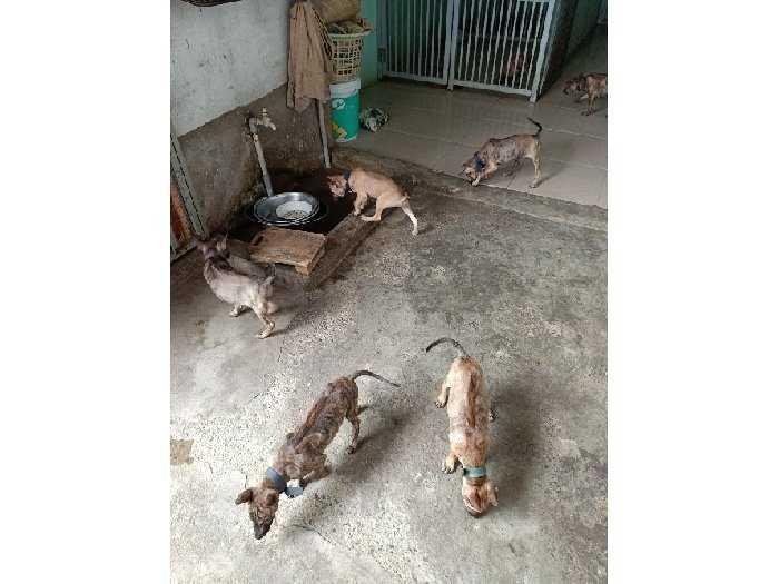 Bán chó Phú Quôc Con1