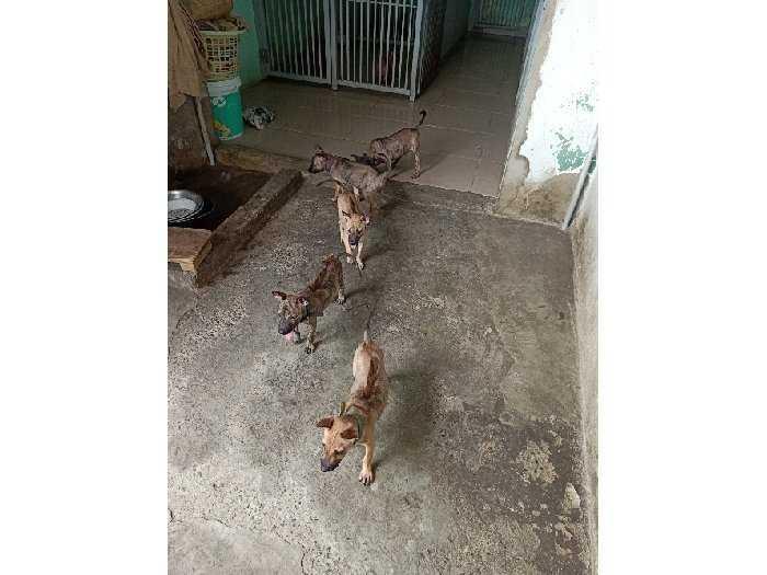 Bán chó Phú Quôc Con2