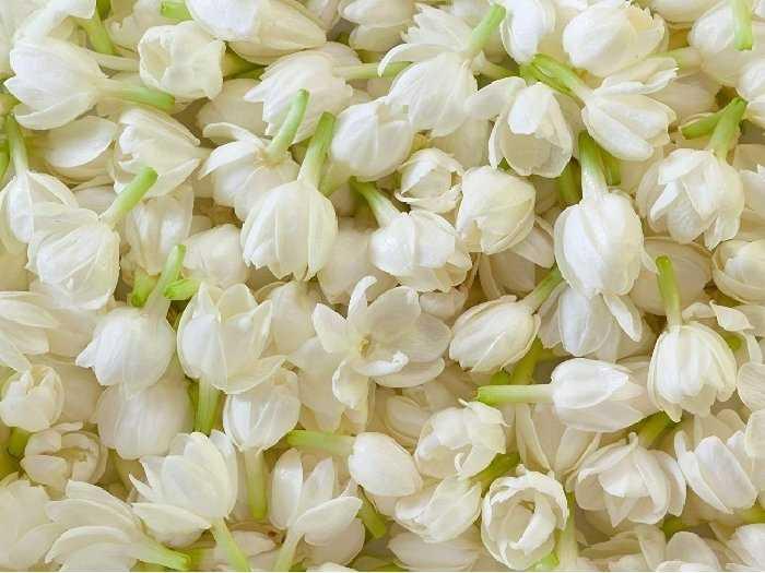 Bán hoa lài tươi, hoa nhài2