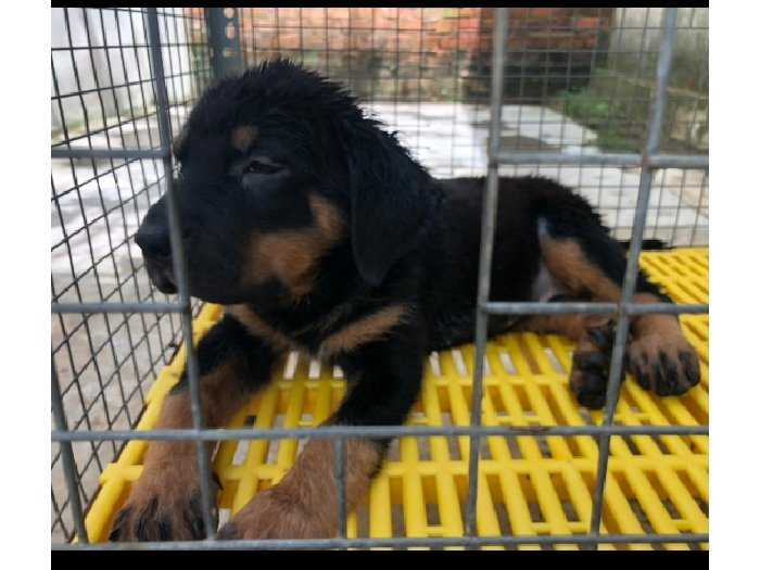 Bán chó Rott Con Bình Dương2