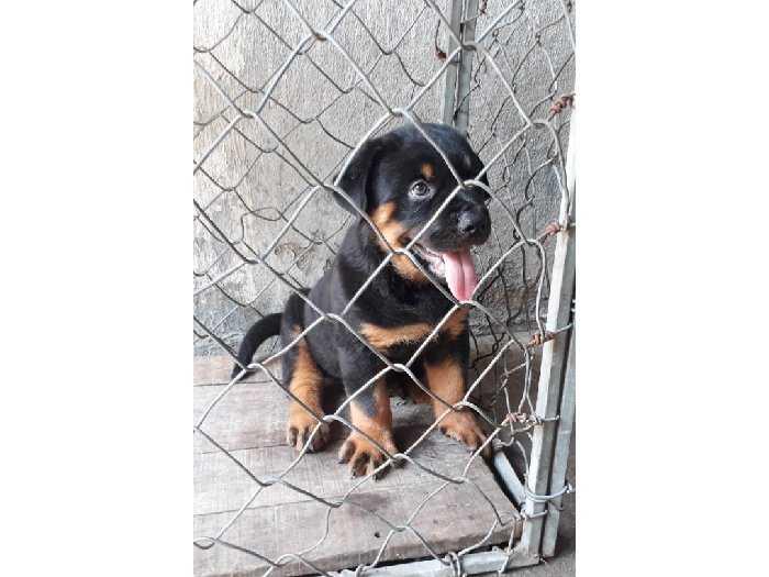 Bán chó Rottweiler Con 3 tháng0