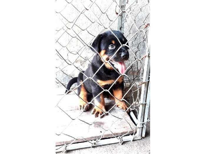 Bán chó Rottweiler Con 3 tháng1