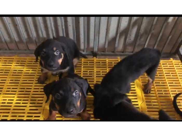 Bán chó Rottweiler Con 3 tháng3