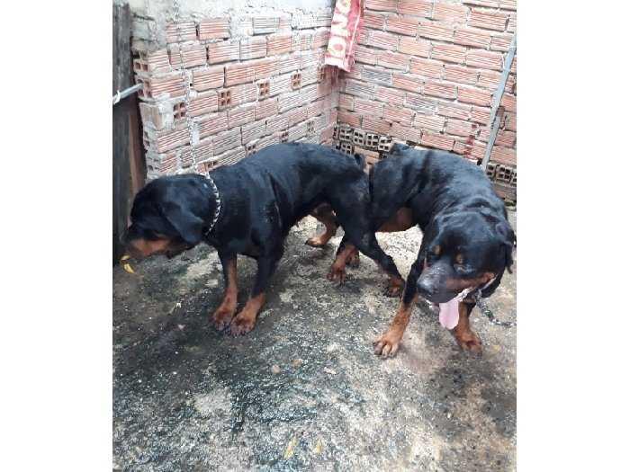 Bán chó Rottweiler Con 3 tháng4