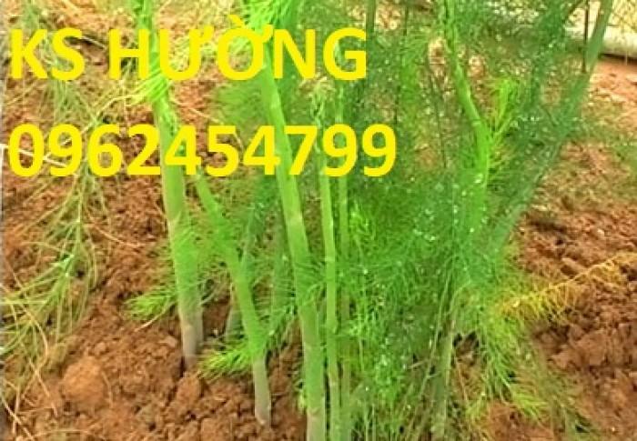 Chuyên cung cấp giống cây măng tây xanh và hạt măng tây xanh ,tím chất lượng3