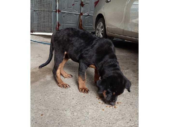Bán chó Rottweiler Con2