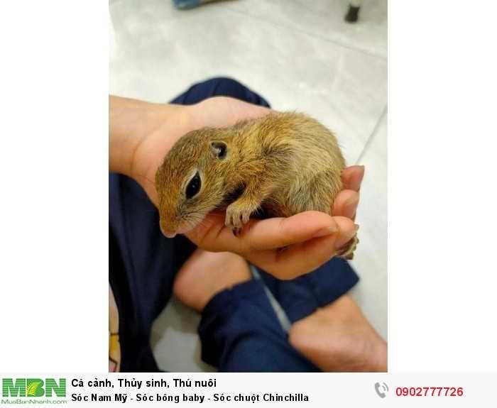 Sóc chuột Chinchilla0