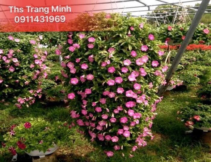 Chuyên cung cấp cây giống hoa Dạ Yến Thảo2