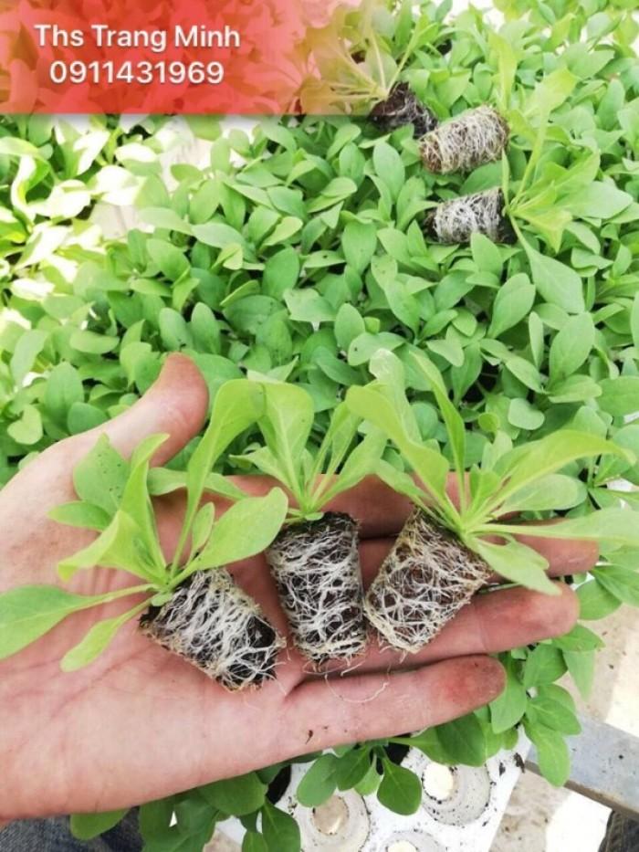 Chuyên cung cấp cây giống hoa Dạ Yến Thảo3