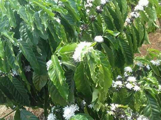 Bán mật ong hoa cà phê3