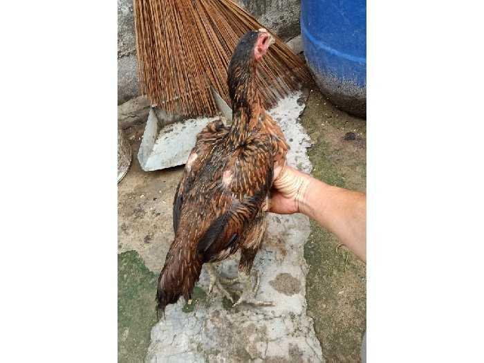 Bán gà mái đòn - Mái chọi gà dòng3