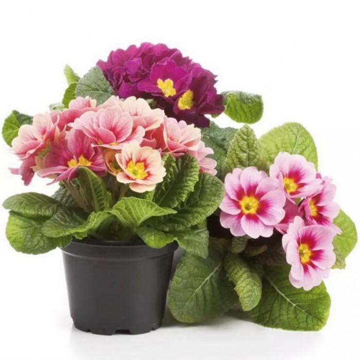 Hạt giống hoa chào xuân – Bịch 10 hạt0