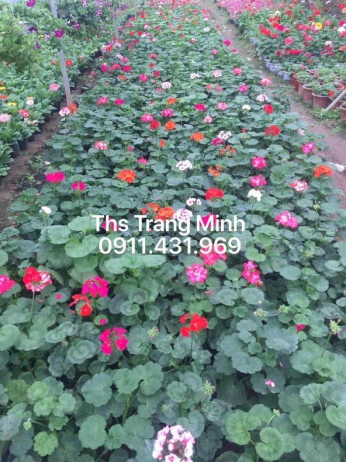 Chuyên cung cấp cây giống Phong Lữ đứng1