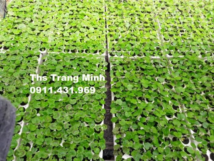 Chuyên cung cấp cây giống Phong Lữ đứng3