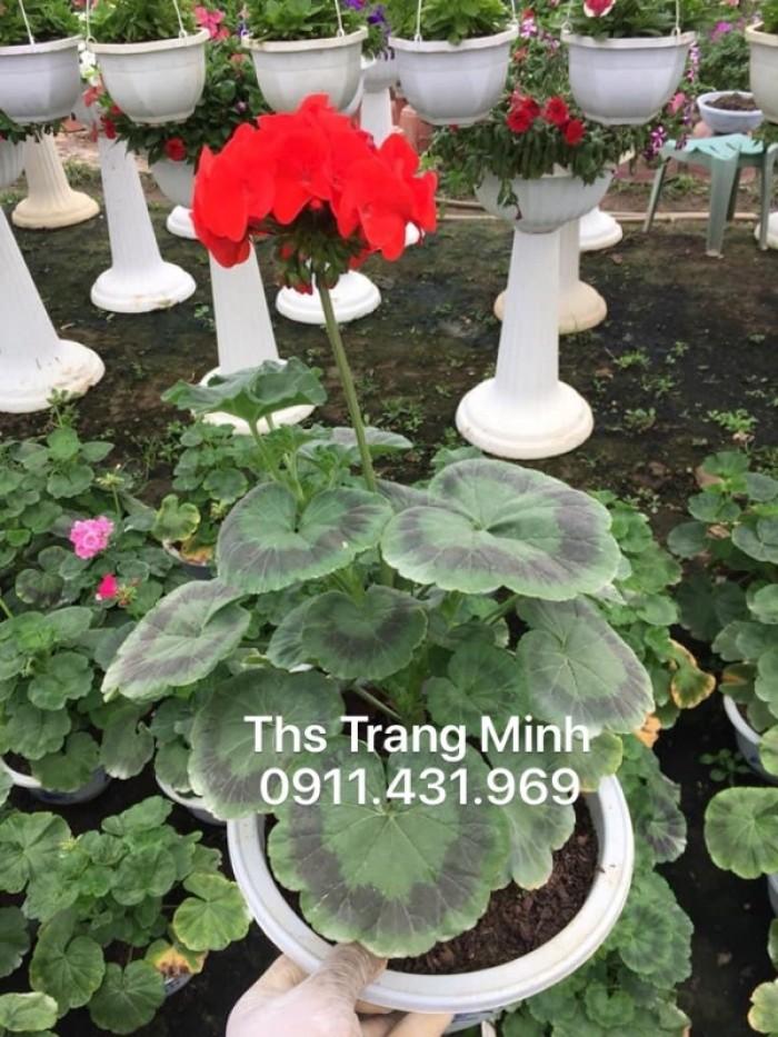 Chuyên cung cấp cây giống Phong Lữ đứng5