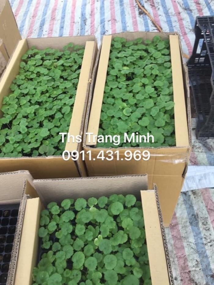 Chuyên cung cấp cây giống Phong Lữ Thảo rủ3