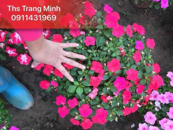 Cây giống hoa Ngọc Thảo3