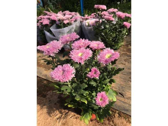 Cúc Pink Teddy - Cúc Gấu Bông2