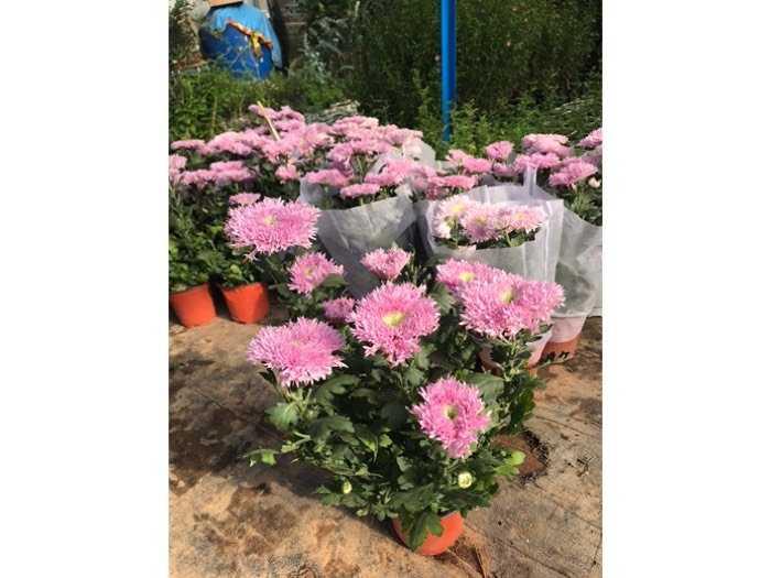 Cúc Pink Teddy - Cúc Gấu Bông3