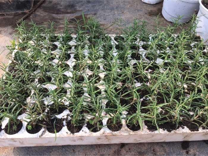 Hương thảo vỉ 112 cây0