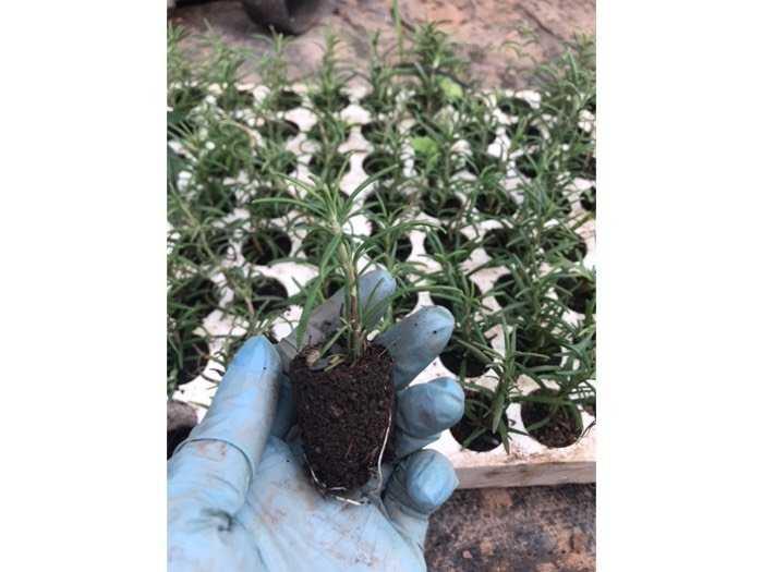 Hương thảo vỉ 112 cây1