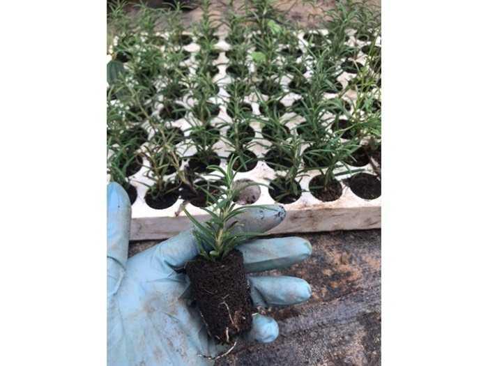 Hương thảo vỉ 112 cây2