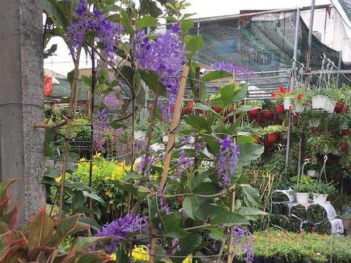 Mai xanh thái cho hoa tím quanh năm0
