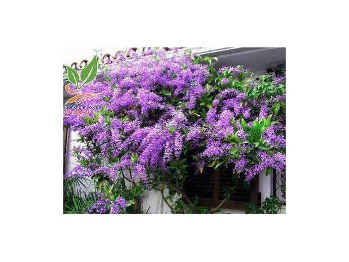 Mai xanh thái cho hoa tím quanh năm1