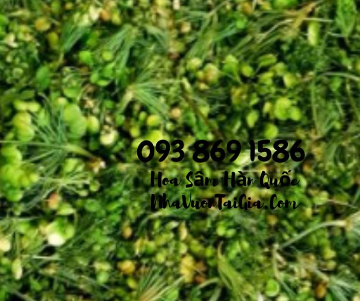 • Mua sâm tươi Hàn Quốc TPHCM -giá Nhân sâm Hàn Quốc  - gọi  093 869 158616