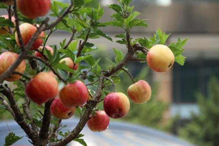 Giống táo đỏ lùn trồng chậu0