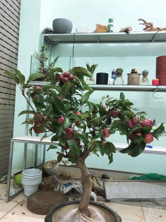 Giống táo đỏ lùn trồng chậu1