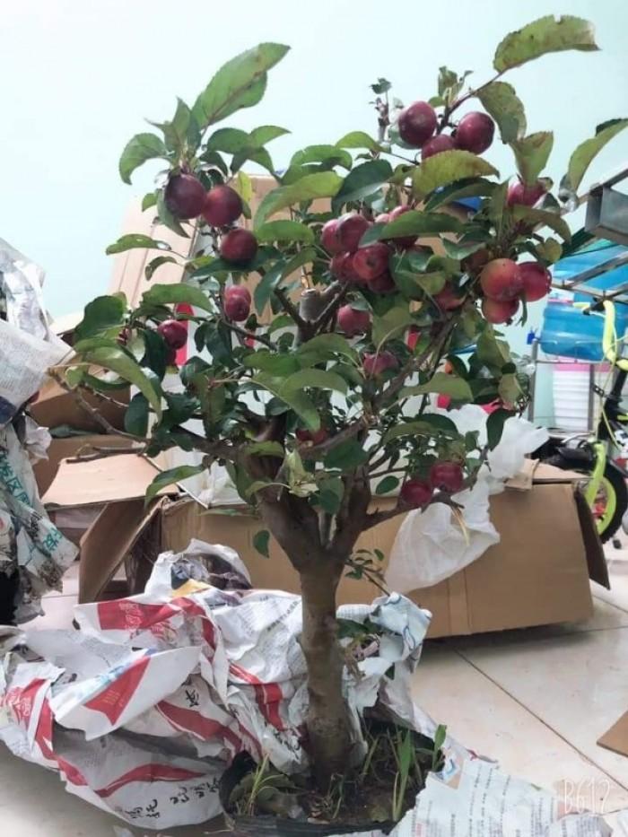Giống táo đỏ lùn trồng chậu2