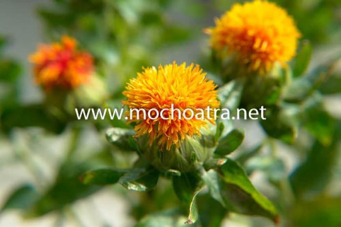 Trà hoa rum/Hồng hoa - Mộc Hoa Trà0