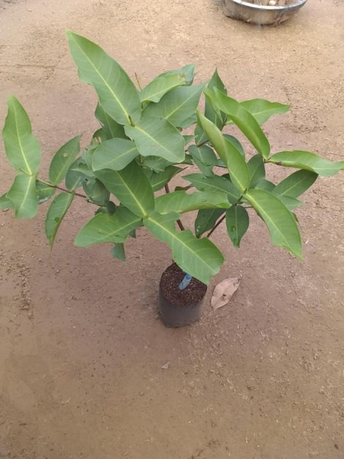 Cung cấp cây Roi Đỏ Nam Phước - cây chuẩn F14